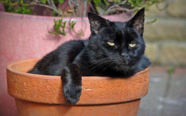 Black Cat Sitting in Sun in Flower Pot