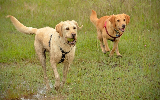Labradors running in grass
