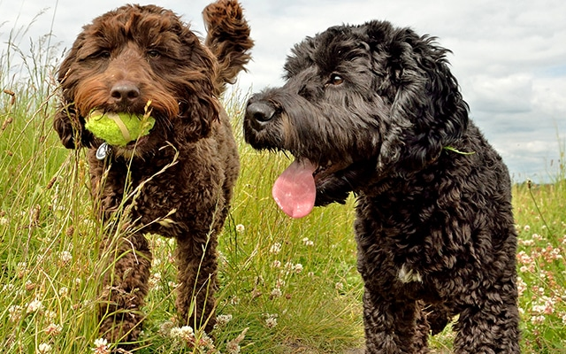 Two Cockapoo Dogs Walking in Grass
