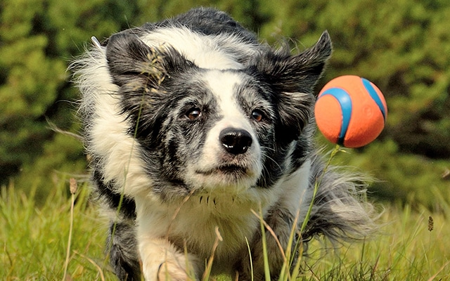 Collie running through grass chasing ball