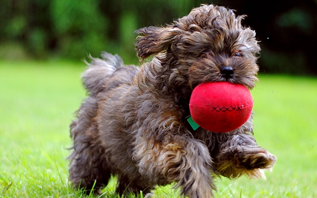 Cockapoo puppy running in grass holding a ball