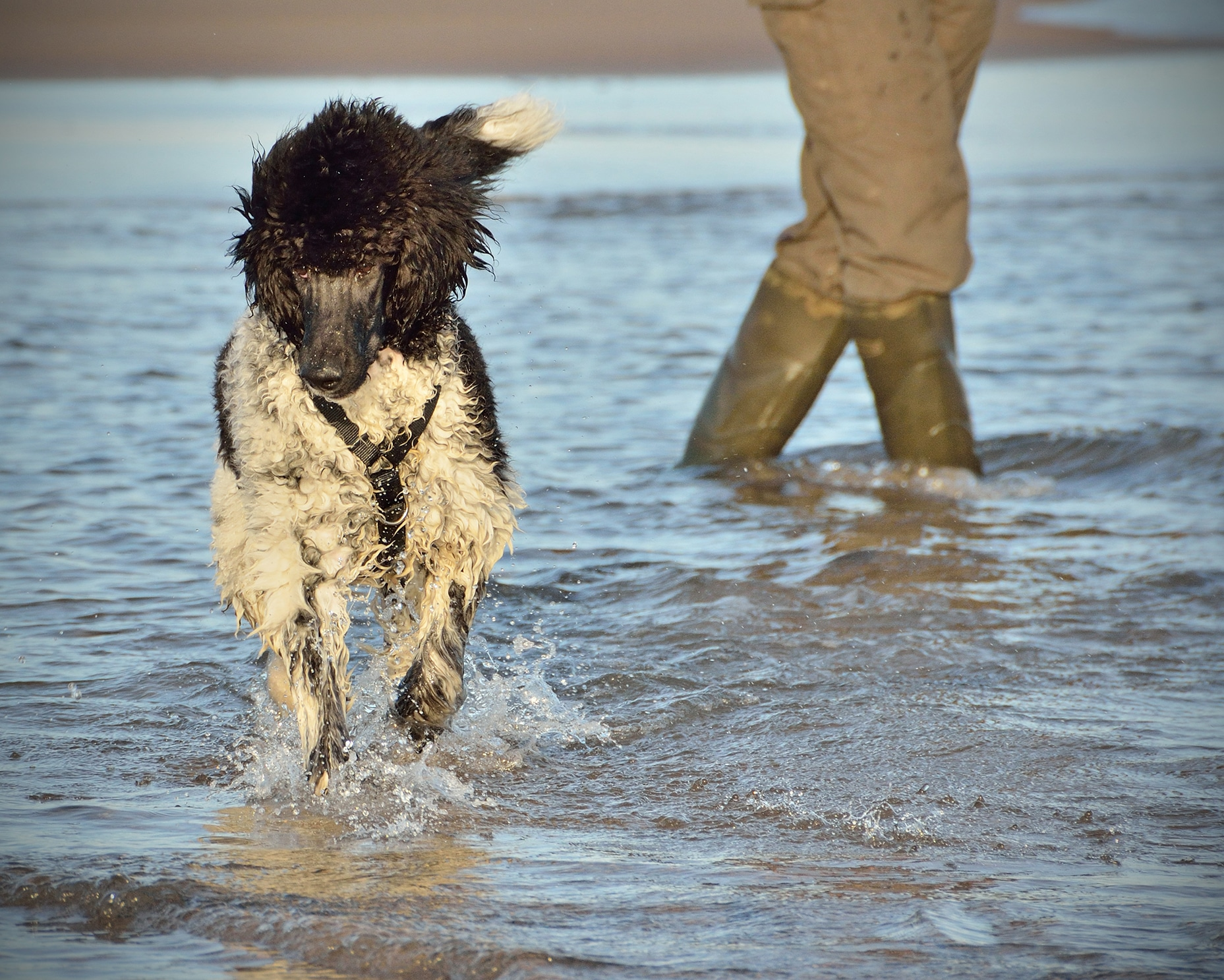 Standard Poodle running in sea on beach